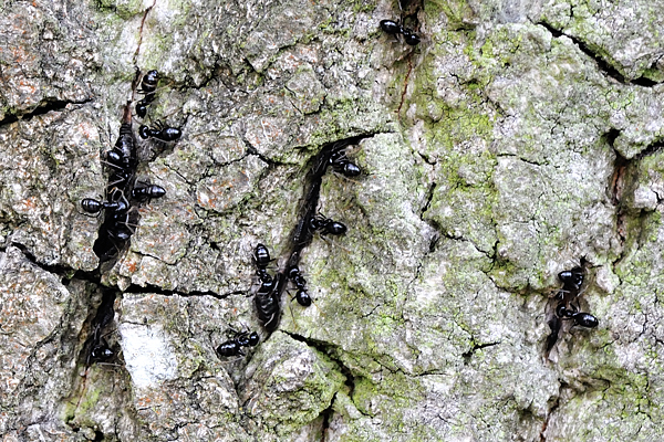 Ants milking