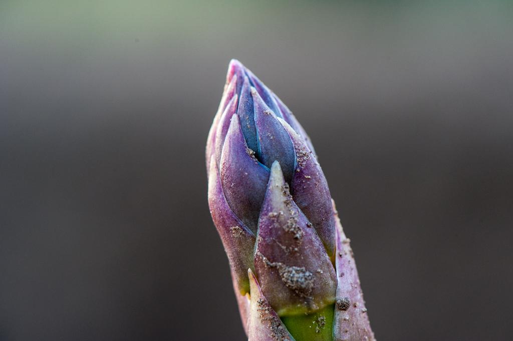 Asparagus tip